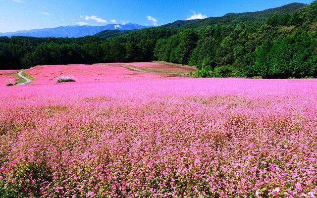 đồi hoa cỏ hồng đà lạt