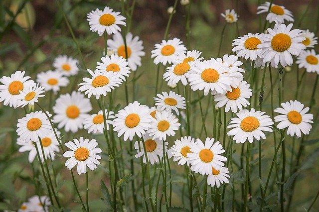 y nghia hoa cuc trang