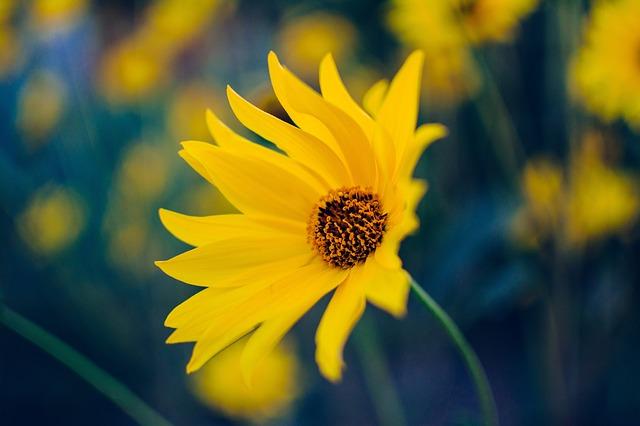 y nghia hoa cuc